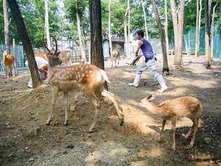 Asahiyama Zoo: Sika Deer