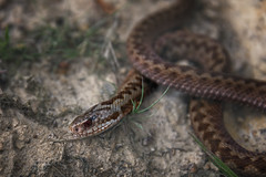 animal, serpent, snake, reptile, hognose snake, grass snake, fauna, viper, scaled reptile, wildlife,