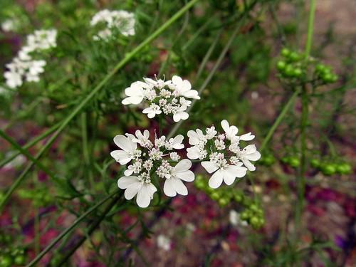 coriander_flowers