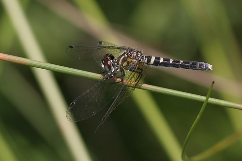 elfinskimmer nannothemisbella libellulidae skimmers nannothemis bella dragonfly odonata skimmer fen cedarbognaturepreserve champaigncounty ohio usa mangoverde