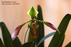 Paphiopedilum lowii 1