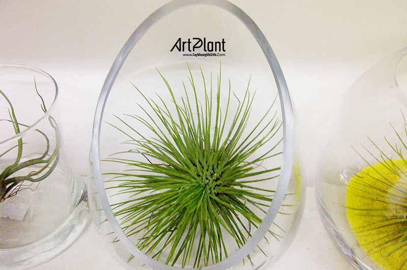 art plant | cay khong khi | tieu canh khong khi | terrarium | khong khi sao mai