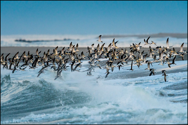 Black Skimmers and Surf