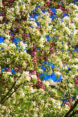 Vibrant spring amidst fragrant fortune. #blossom