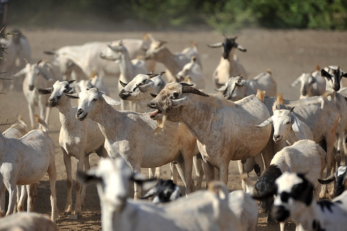 Goats at a water point near Wajir.