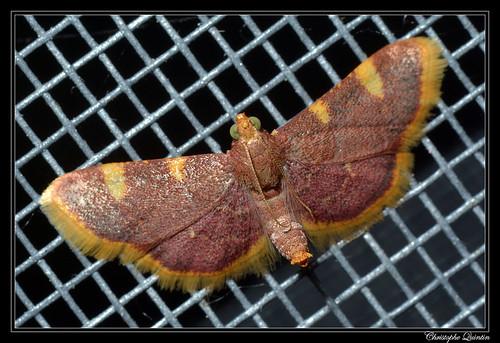 Pyrale du fourrage (Hypsopygia costalis)