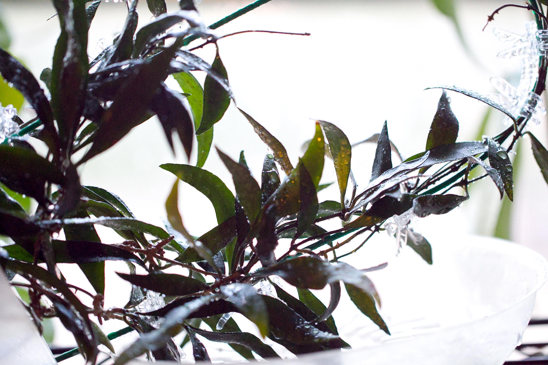 Hoya parviflora