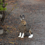 Snowshoe hare pauses
