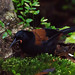 South Island Saddleback - Photo (c) David Cook, some rights reserved (CC BY-NC)