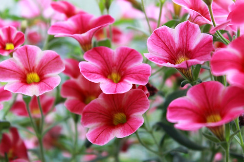pink flowers, floral, flower nursery, flower plant, hanging plant, spring