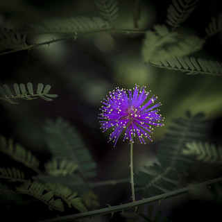 Honorable Mention - 'Purple Wildflower looks like Fireworks' – Marjorie Casey