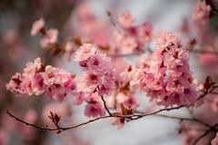 blireiana flowering plum