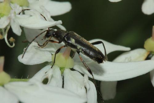 Grammoptera ruficornis 30137