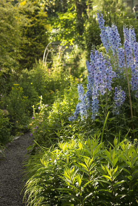 Delphinium and arbor