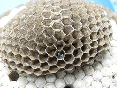 wasp(0.0), invertebrate(0.0), insect(0.0), membrane-winged insect(0.0), design(0.0), honeycomb(1.0),