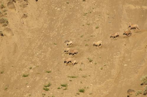 camping mountain canada nature outdoors bc sheep churncreek fraserrivercanyon