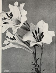 "Image from page 24 of ""Beckert's bulbs"" (1922)"