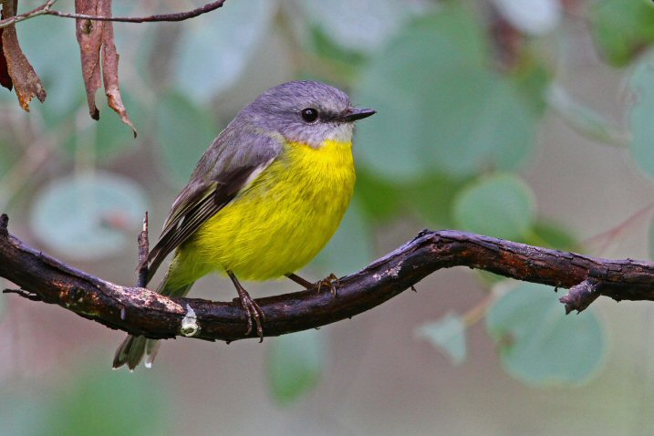 Eastern Yellow Robin N Bartlett
