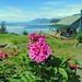 Sitka rose, Juneau, Alaska by Hawkfish