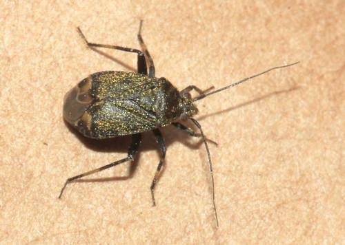 Polymerus nigrita 30928