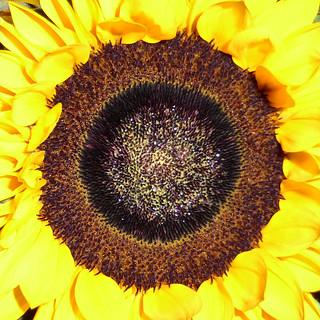 rainday sunflower