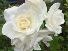 cut flowers(0.0), flower bouquet(0.0), floristry(0.0), garden roses(1.0), floribunda(1.0), flower(1.0), gardenia(1.0), petal(1.0),
