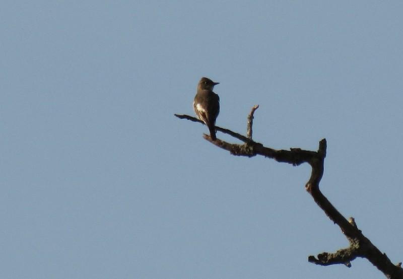 IMG_2617 Olive-sided Flycatcher