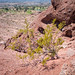 Creosote Bush on Papago Butte