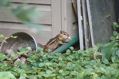 Chipmunk with a Peanut