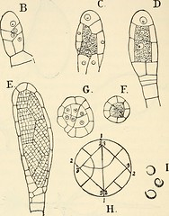 "Image from page 209 of ""The structure and development of mosses and ferns (Archegoniatae)"" (1918)"