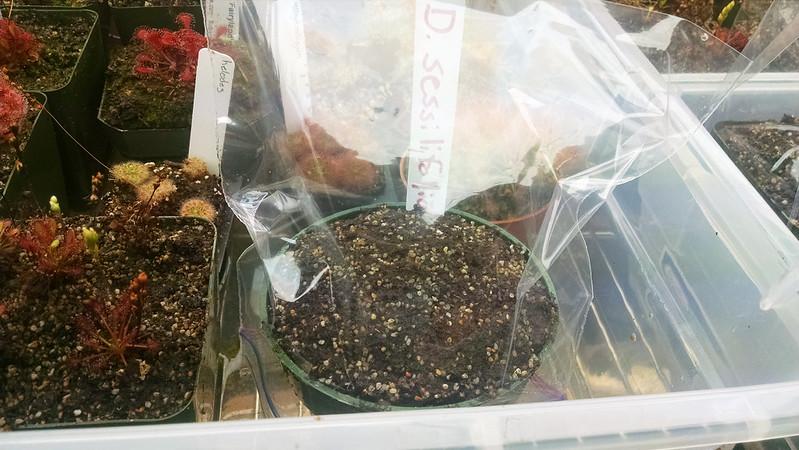 Drosera sessilifolia seed starts