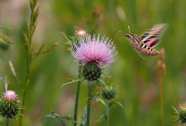 Vlinder met kolibri kenmerken