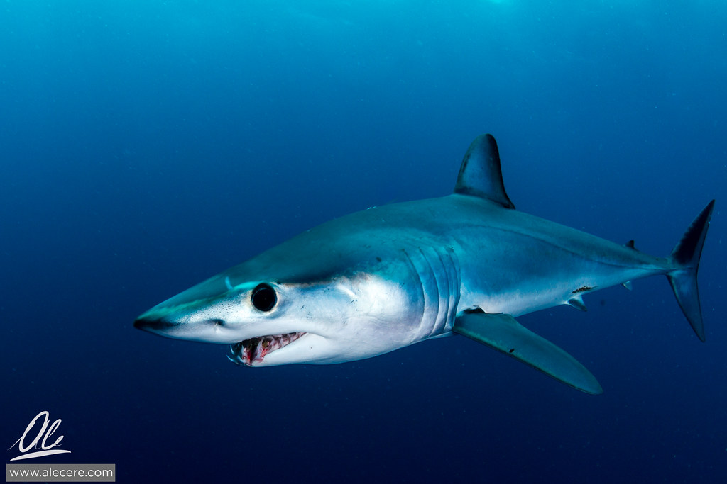a look at the fastest fish in the world the shortfin marko shark