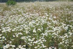 yarrow(0.0), blossom(0.0), grass(0.0), cow parsley(0.0), anthriscus(0.0), flower(1.0), field(1.0), plant(1.0), chamaemelum nobile(1.0), tanacetum parthenium(1.0), wildflower(1.0), flora(1.0), meadow(1.0),