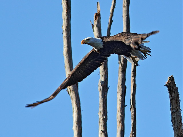 Bald Eagle female 8-20140901