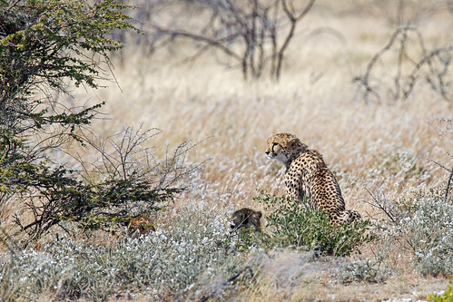 Cheetah with two cubs