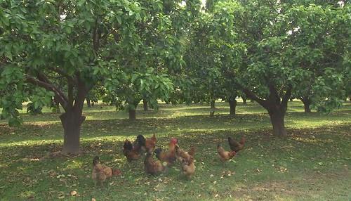 柚子的故鄉有座柚園特別不一樣
