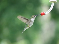 Ruby-throated Hummingbird/ Front Porch/ 8-24-2014