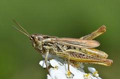 Chorthippus apricarius female