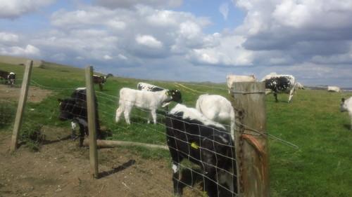 Free-range cows ...