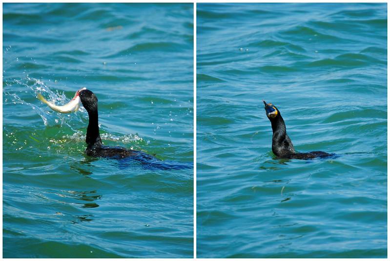Bird eating fish.