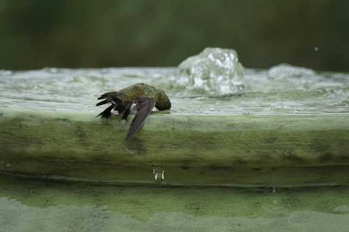 Hummingbird in the fountain