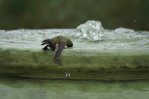 Hummingbird in the fountain