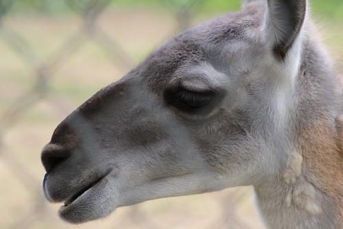 Contemplation Of The Llama