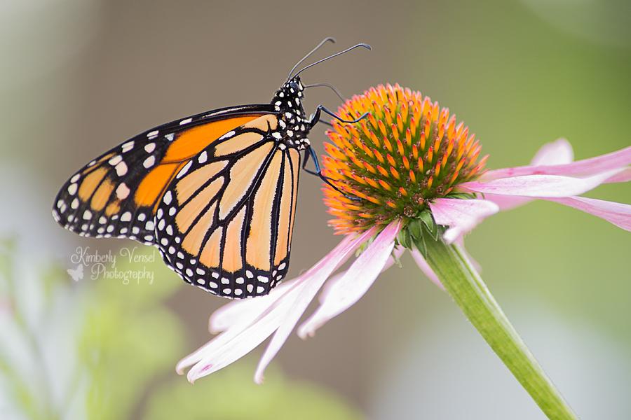 Monarch visitor