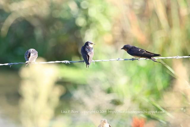 2014.09.25BarnSwallow02