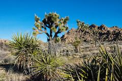 Joshua Trees & Yucca