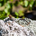 Small photo of Rainbow agama
