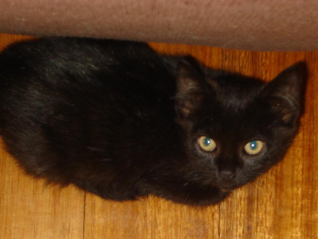foster kitten Whisper