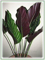 Calathea ornata 'Sanderiana' (Calathea Broad Leaf, Striped Calathea, Pin-stripe Plant), 23 June 2014